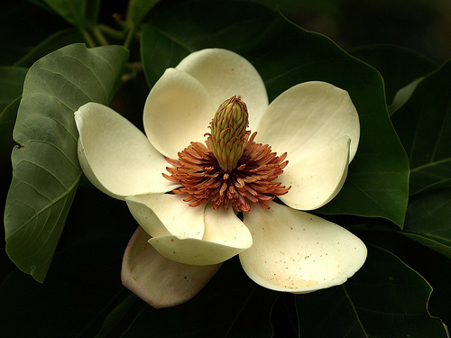 Meaning Of Magnolia Magnolia Massage Travels